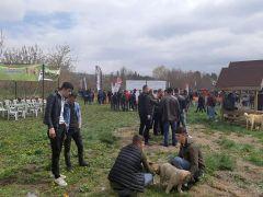 Türk Çoban Köpeği Festivali'nde köpekler yarıştı