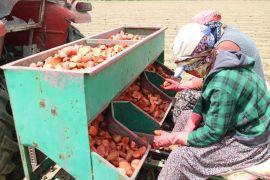 (özel) Patatesin fiyatı 1,5 liraya kadar düşer