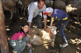 Hocalar'da koyun kırkımı şölen havasında başladı