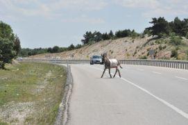 Karayolundaki eşek sürücülere zor anlar yaşattı