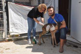 Kızıl geyik yavruları tedavi altına alındı