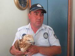 Sandıklı'da yaralı bulunan kızıl şahin koruma altına alındı