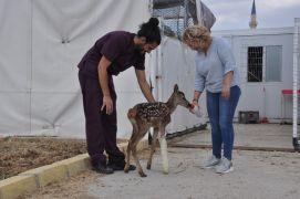 Yavru kızıl geyik tedavi altına alındı