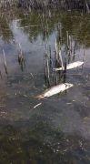 Afyonkarahisar Eber Gölü'nde yaşanan balık ölümleri