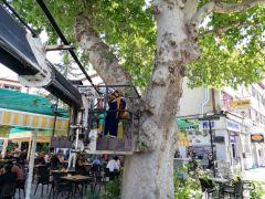 Cami bahçelerindeki 3 asırlık çınar ağaçları için budama ve rehabilitasyon çalışması