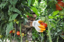 Gazeteciliği bıraktı köyünde sera kurup domates yetiştirmeye başladı