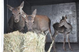Tedavileri tamamlanan 3 kızıl geyik yavrusu üretim merkezine gönderildi