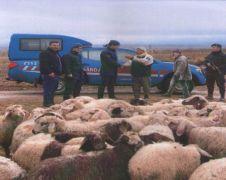 'Firar eden' koyunlar drone ile bulundu