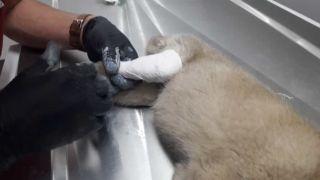 Otomobilin çarptığı yavru köpeğe hayırsever vatandaşlar sahip çıktı