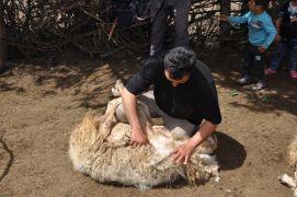 Yörüklerin geleneksel koyun kırkımı şölen havasında yapılıyor
