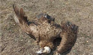 Afyonkarahisar'da 7 kara akbaba zehirlenerek telef oldu