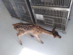 Köpeklerin saldırısına uğrayan yavru geyik tedavi altına alındı