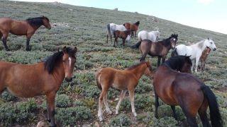 (ÖZEL) Yılkı atları tüm güzellikleriyle drone ile havadan görüntülendi