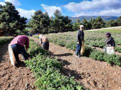 (Özel) Afyonkarahisar'da yağlık gül hasadı başladı